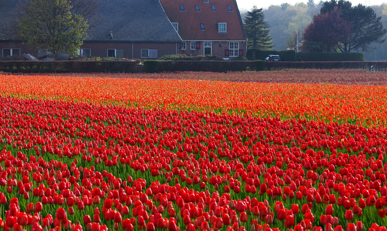 Tulip Fields Holland photo