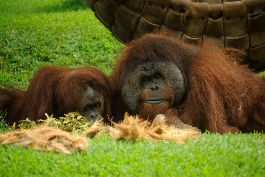 Orangutans photo