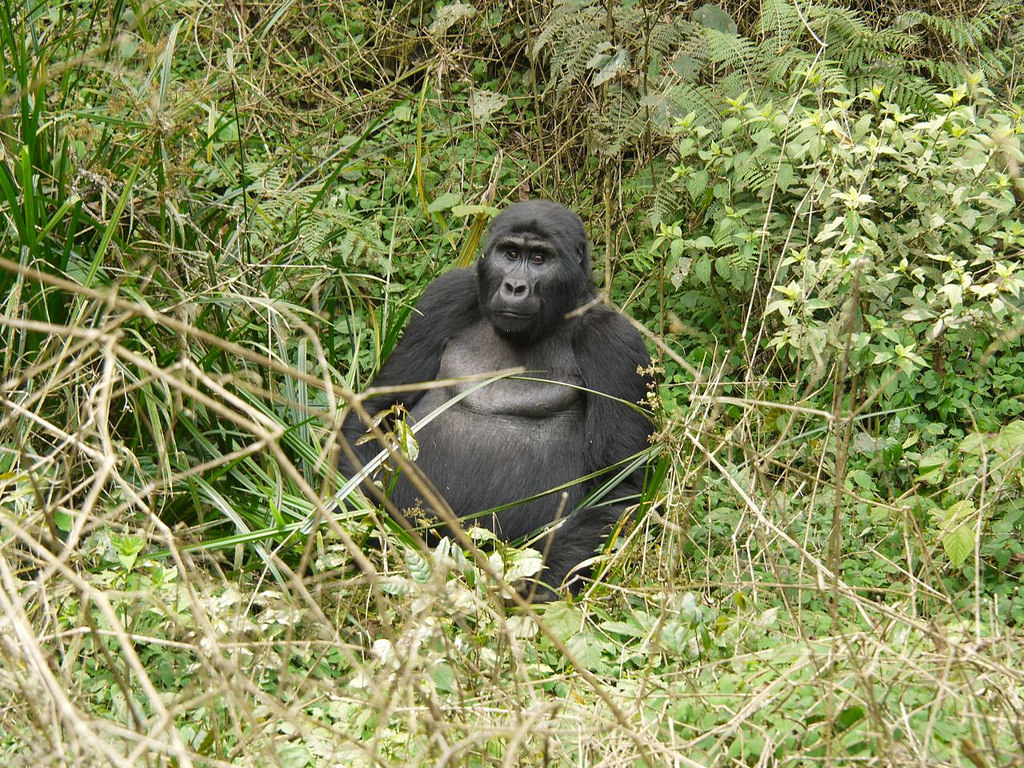 Gorilla Tracking photo