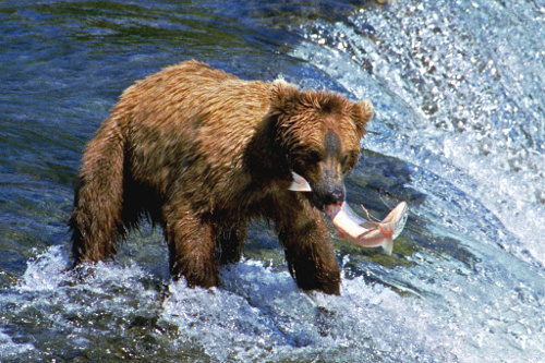 Grizzly Bear safari, among the best wildlife safari