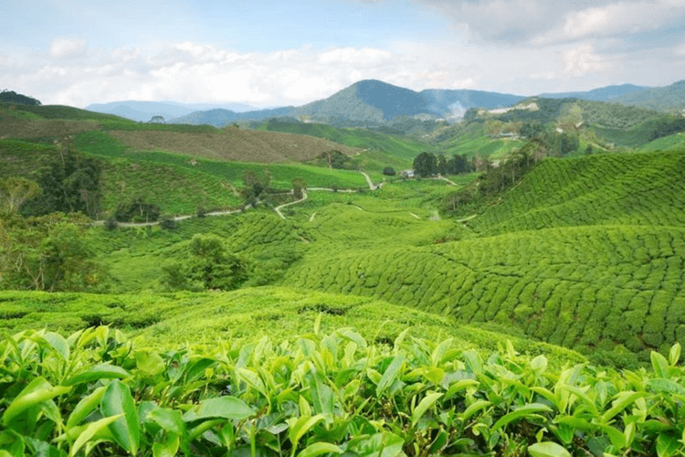 cameron-highlands-in-malaysia